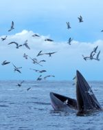 Be thankful for the miracle of whales this season. See these VERY rare whales in action – the potential for citizen science